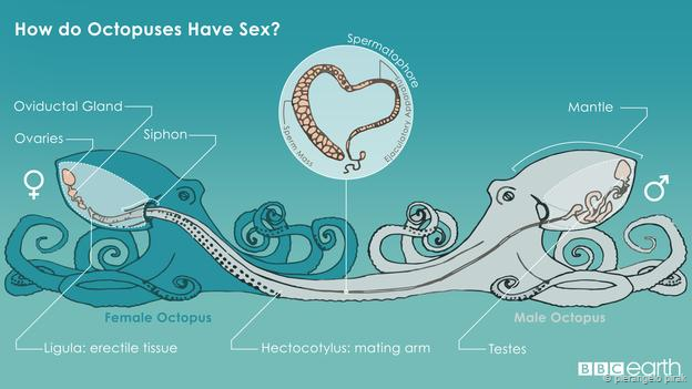 the mysteries of cannibal octopus s*x