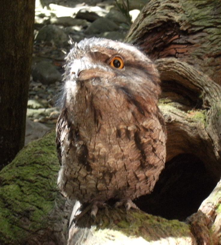 papuan frogmouth.JPG