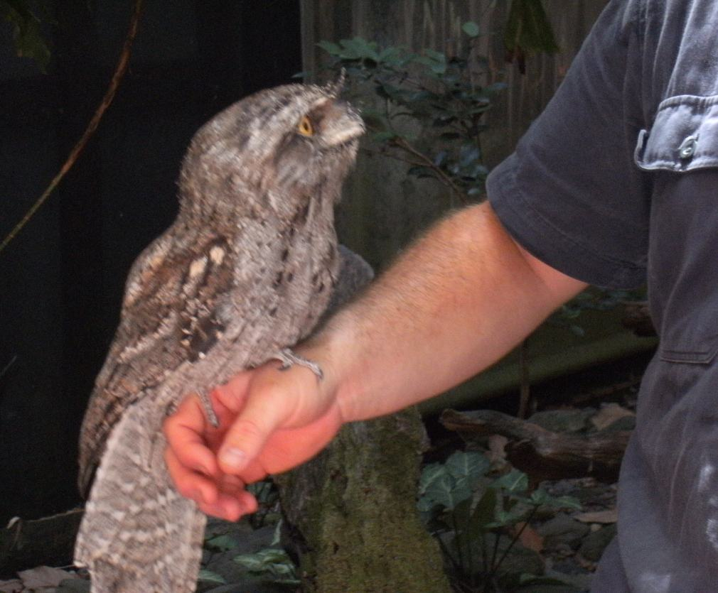 papuan frogmouth & keeper.JPG